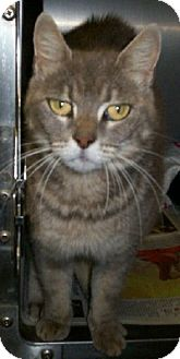 Domestic Shorthair Cat for adoption in Chesapeake, Virginia - Patty