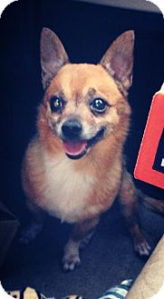 Chihuahua Mix Dog for adoption in Gainesville, Florida - Roger