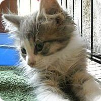 Adopt A Pet :: Pickles - Arlington, VA