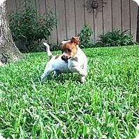 Adopt A Pet :: LITTLE LOUIE - Bryan, TX