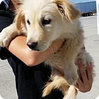 Adopt A Pet :: Sansa - Greeley, CO