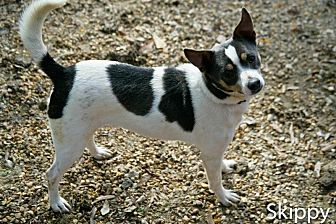 Jack Russell Terrier Mix Dog for adoption in Jackson, Mississippi - Skippy