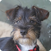 Adopt A Pet :: Biscuit - pending adoption - Norwalk, CT