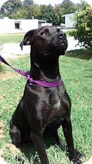 Pit Bull Terrier/Labrador Retriever Mix Dog for adoption in Shelbyville, Tennessee - Axel