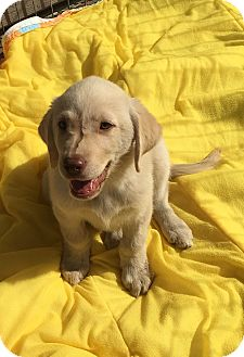 Golden Retriever/Labrador Retriever Mix Puppy for adoption in Carlsbad, California - sienna tammie sunshine barley