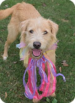 Schnauzer (Giant)/Irish Terrier Mix Dog for adoption in Denver, Colorado - Nala *ADOPTION PENDING*