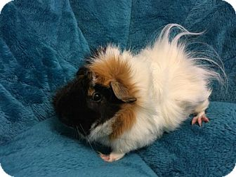 Guinea Pig for adoption in Odessa, Texas - Norman