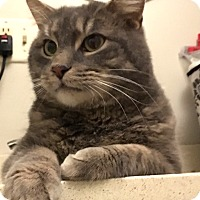Adopt A Pet :: Tommy - Fairfield, CT