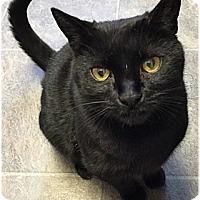 Adopt A Pet :: Cheddar - Milford, MA