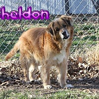 Adopt A Pet :: Sheldon # 944 - Nixa, MO