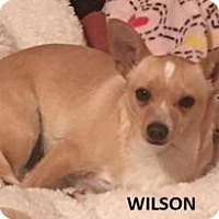 Adopt A Pet :: Wilson - Dallas, TX