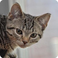 Adopt A Pet :: Gulliver (bonded to Latte) - Richmond Hill, ON