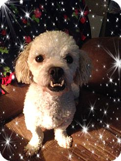 Bichon Frise Mix Dog for adoption in Tulsa, Oklahoma - Adopted!! Marley - S. TX