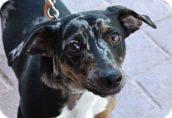 Dachshund Mix Dog for adoption in Gilbert, Arizona - Cappuccino