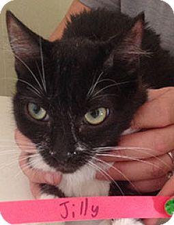 Domestic Shorthair Cat for adoption in Mesa, Arizona - Jilly