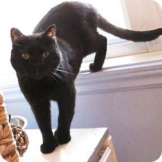 Domestic Shorthair Cat for adoption in Verdun, Quebec - Puma