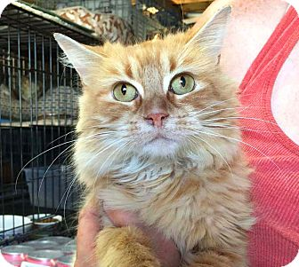 Domestic Longhair Kitten for adoption in Lombard, Illinois - Tiana