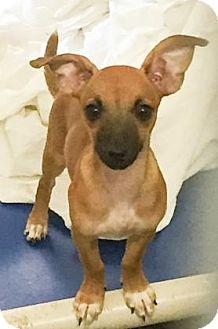 Chihuahua Mix Puppy for adoption in Hendersonville, North Carolina - Snyder