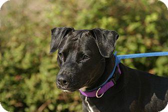 Labrador Retriever Mix Dog for adoption in Peace Dale, Rhode Island - Sparky