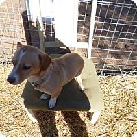 Adopt A Pet :: Gibbs - Clarkdale, AZ