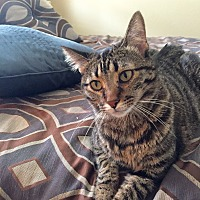 Domestic Shorthair Cat for adoption in Arlington/Ft Worth, Texas - Teddy