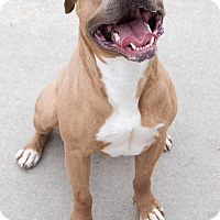 Pit Bull Terrier/Hound (Unknown Type) Mix Dog for adoption in Vancouver, British Columbia - Neo