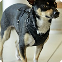 Chihuahua Mix Dog for adoption in Culver City, California - Marvin