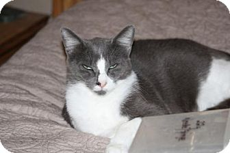 Domestic Shorthair Cat for adoption in Cypress, Texas - George