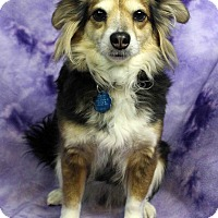 Adopt A Pet :: Sassy - Westminster, CO