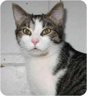 Domestic Shorthair Cat for adoption in Cincinnati, Ohio - Dickens
