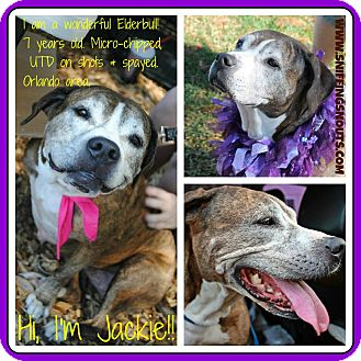 Labrador Retriever/American Pit Bull Terrier Mix Dog for adoption in Orlando, Florida - Jackie