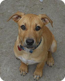 Rhodesian Ridgeback/German Shepherd Dog Mix Puppy for adoption in Torrance, California - KIANA