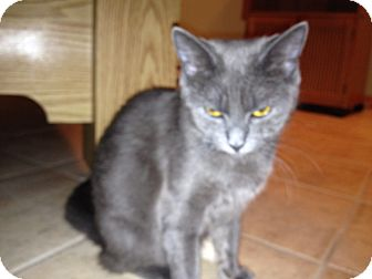 Russian Blue Kitten for adoption in East Hanover, New Jersey - Peggy