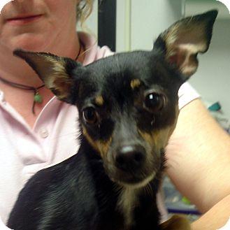 Chihuahua Mix Dog for adoption in Greencastle, North Carolina - Ariel