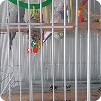 Adopt A Pet :: No Name pair of Parakeets - Punta Gorda, FL