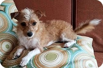 Jack Russell Terrier Dog for adoption in San Antonio, Texas - Karly Jo in Austin