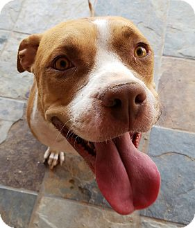 Staffordshire Bull Terrier Dog for adoption in Peoria, Arizona - BAILEY