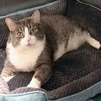 Adopt A Pet :: VASYA - Hampton Bays, NY