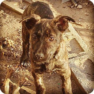 Labrador Retriever/Shepherd (Unknown Type) Mix Puppy for adoption in Pikeville, Maryland - Briar