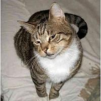 Adopt A Pet :: Bogey - Cranford, NJ