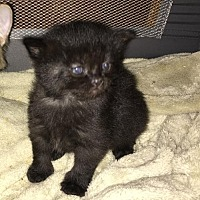 Adopt A Pet :: Kittens!!!! New!!!! - Los Angeles, CA