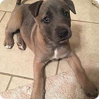 Adopt A Pet :: Blu - oklahoma city, OK