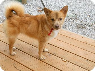 Pomeranian/Terrier (Unknown Type, Small) Mix Dog for adoption in Bellingham, Washington - Buddy