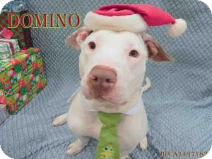 American Pit Bull Terrier/Basset Hound Mix Dog for adoption in San Diego, California - Domino