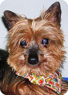 Yorkie, Yorkshire Terrier Dog for adoption in Plain City, Ohio - Rascal