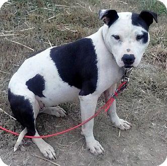 Pit Bull Terrier Dog for adoption in Cincinnati, Ohio - Olivia
