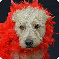 Adopt A Pet :: Bruce Lee - Plano, TX