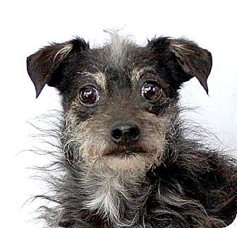 Terrier (Unknown Type, Small) Mix Dog for adoption in Wichita Falls, Texas - Rudy