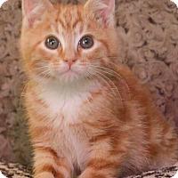 Adopt A Pet :: Biscotti - Reston, VA