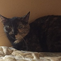 Domestic Shorthair Cat for adoption in Morganton, North Carolina - Bobbie Sue